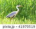アオサギ サギ 鳥の写真 41970519