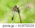 トンボ 昆虫 クローズアップの写真 41970520