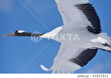 頭上を飛んだ丹頂鶴(北海道・鶴居) 41972911