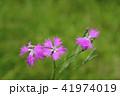 河原ナデシコの花 41974019
