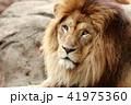 雄ライオンの顔 41975360