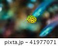 ミナミハコフグ幼魚④ 41977071