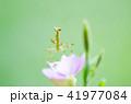 カマキリと花② 41977084