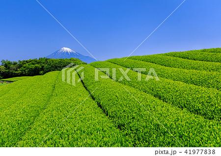 富士山と茶畑の絶景 41977838