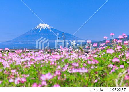 静岡_レンゲ畑と富士山 41980277