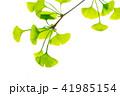 新緑の背景_イチョウの若葉_白バック 41985154