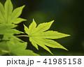 新緑_モミジ 41985158