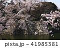 4月 桜咲く彦根城のお堀 41985381