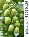 成長中のミニトマト 41989186
