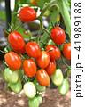 家庭菜園のミニトマト 41989188