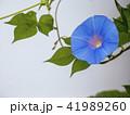 朝顔 植物 花の写真 41989260