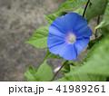 朝顔 植物 花の写真 41989261