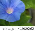 朝顔 植物 花の写真 41989262