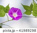 朝顔 植物 花の写真 41989298