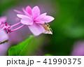 花 紫陽花 昆虫の写真 41990375