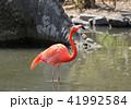 フラミンゴ 野鳥 渡り鳥の写真 41992584