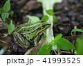畑のトノサマガエル 41993525