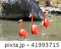 フラミンゴ 野鳥 渡り鳥の写真 41993715