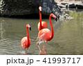 フラミンゴ 野鳥 渡り鳥の写真 41993717