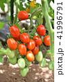 家庭菜園のミニトマト 41996791