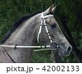 Grey arabian horse stallion portrait. 42002133