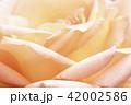 花_バラ 42002586
