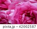 花_バラ 42002587