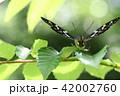 タテハチョウ科 国蝶 オオムラサキの写真 42002760