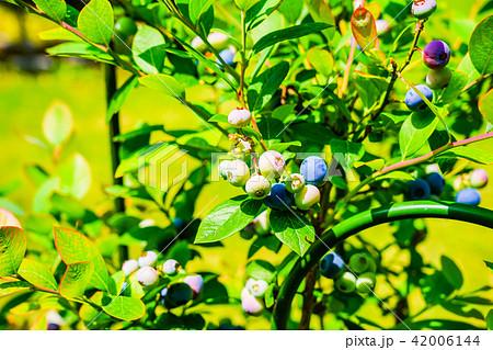 庭先で育てたブルーベリーの収穫 42006144
