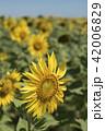 Sunflower closeup on natural green landscape 42006829
