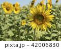 Sunflower closeup on flower field landscape 42006830