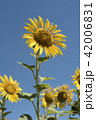 Yellow sunflower closeup on blue sky background 42006831