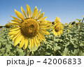 Sunflower closeup on flower field landscape 42006833