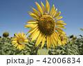 Sunflower closeup on natural green landscape 42006834