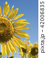 Sunflower closeup on blue sky background 42006835