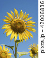 Yellow sunflower closeup on blue sky background 42006836