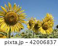 Sunflower closeup on flower field landscape 42006837