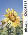 Sunflower closeup on blue sky background 42006838