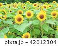 夏 花 ひまわりの写真 42012304