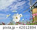 コスモス 花 白色の写真 42012894