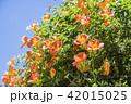 ノウゼンカズラ 花 橙色の写真 42015025