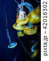 海月 くらげ 水母の写真 42016302