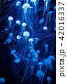 くらげ 海月 水母の写真 42016337