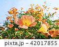 ノウゼンカズラ 花 植物の写真 42017855