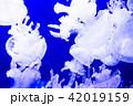 海月 くらげ 水母の写真 42019159