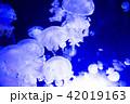水母 海月 くらげの写真 42019163