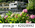 橋の近くの紫陽花 42028992