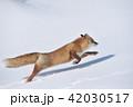キタキツネ 冬 走るの写真 42030517