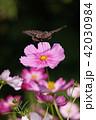 コスモス 秋桜 花の写真 42030984