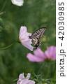 コスモス 秋桜 花の写真 42030985